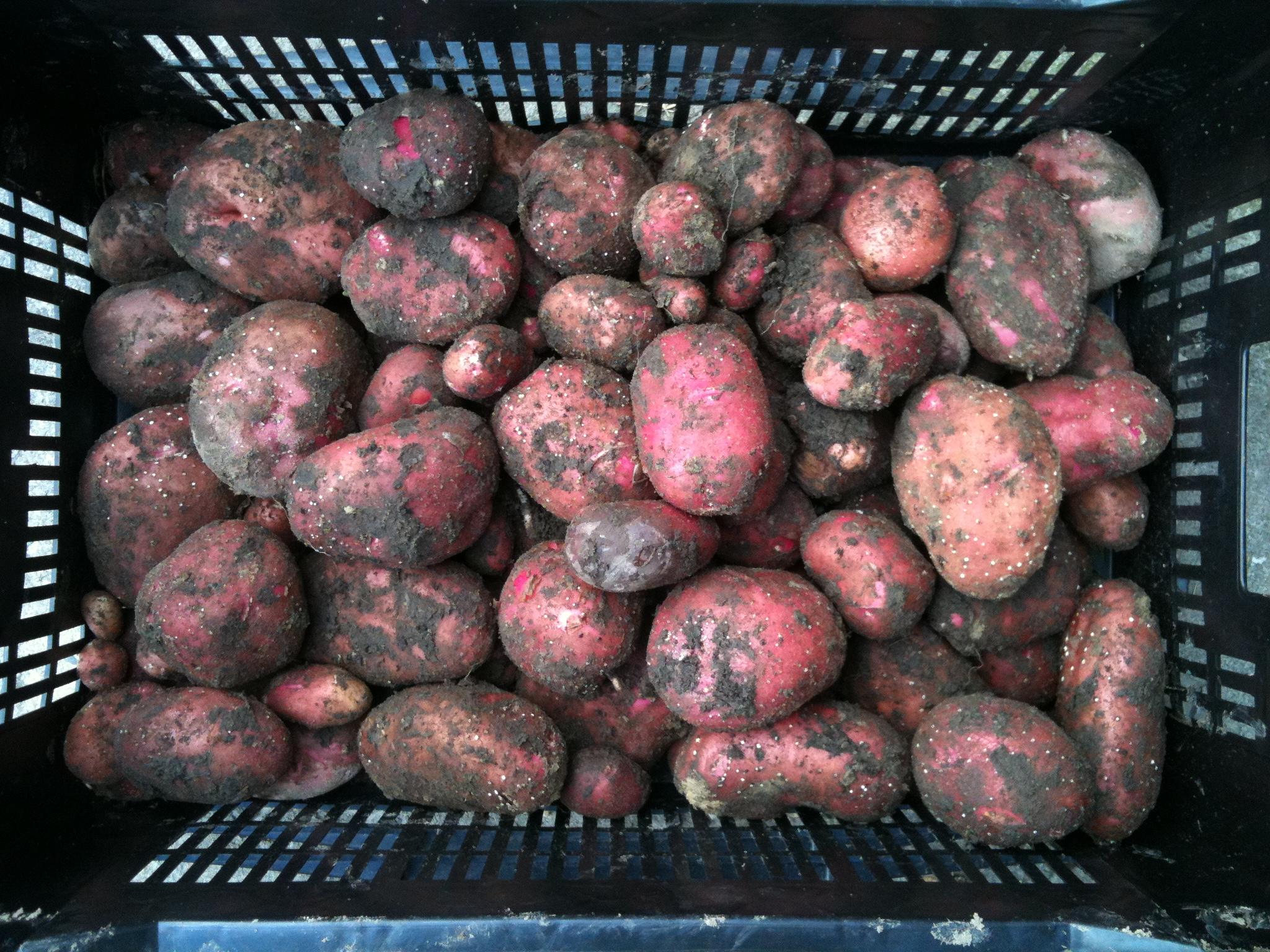 Raja aardappelen